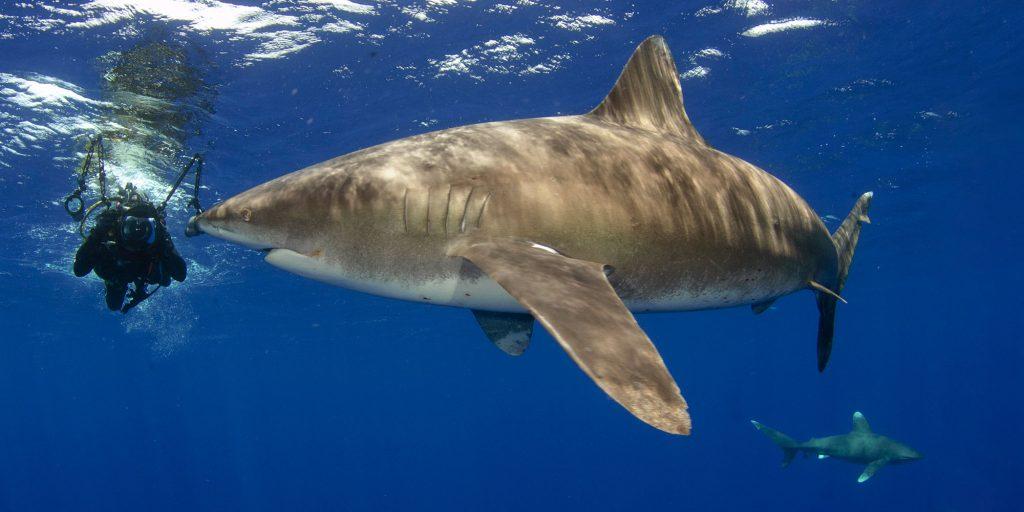 Cat Island Shark, Bahamas