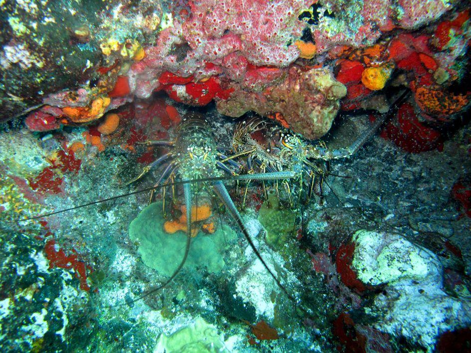 st barts lobster diving